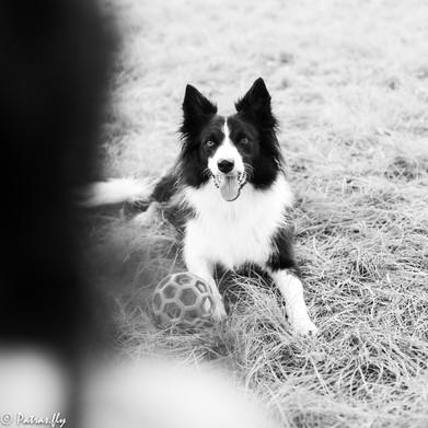 pet's life border collie