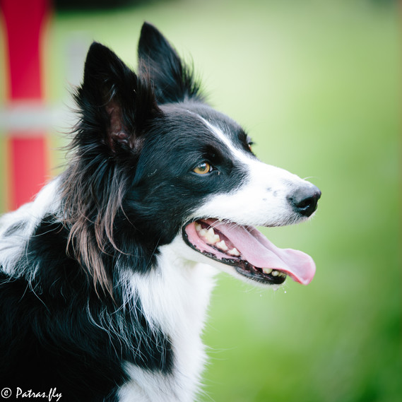 pet's life border collie