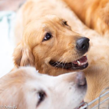 pet's life golden retrieve