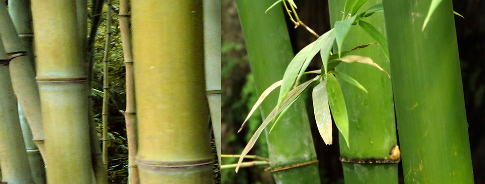 Sugarcane Bamboo