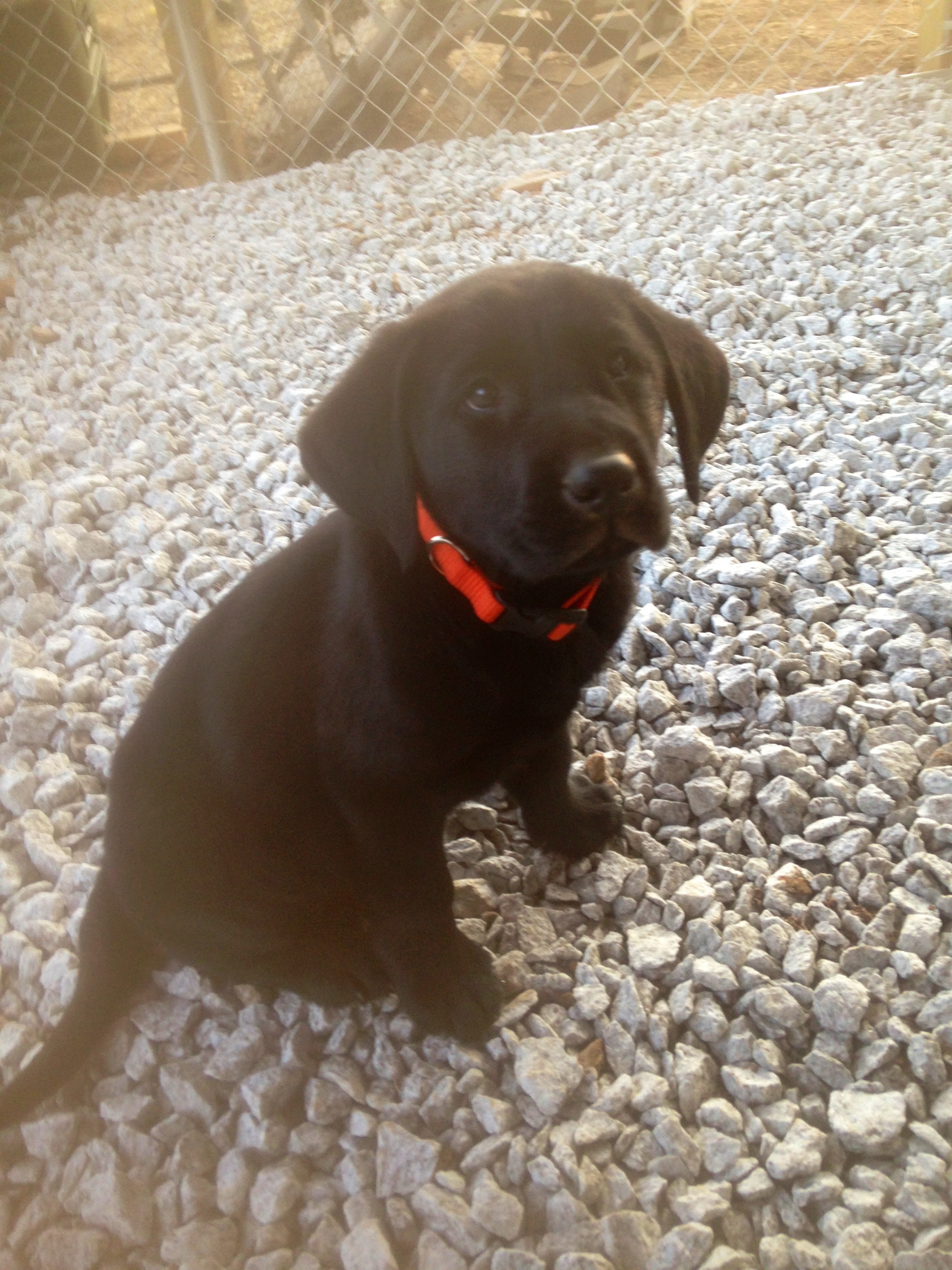 Lab Puppies Alabama | Lab Puppies Georiga | Hunting Labs