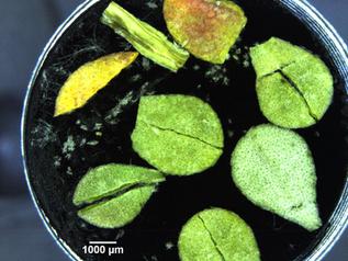 Al.Bert dried leaves_1.tif