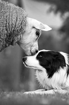 collie and lamb kissing.jpg