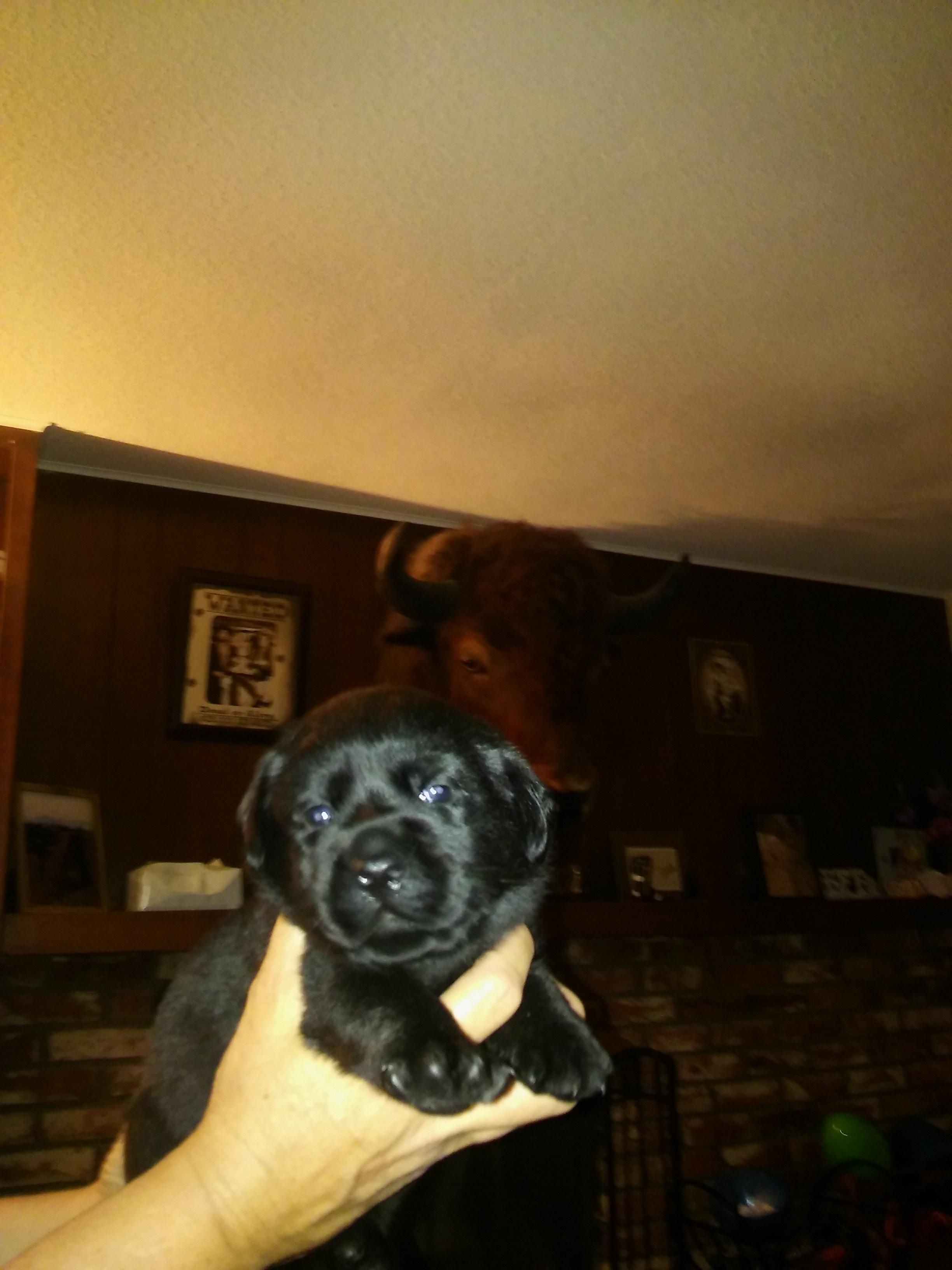 Peyton's Labradors black, yellow,chocolate English Labs