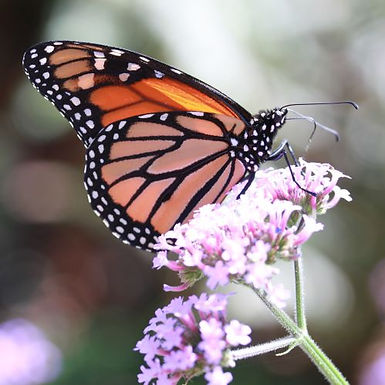 Monarch Mystery
