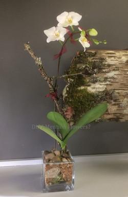 1 - Phalaenopsis Orchid in Vase