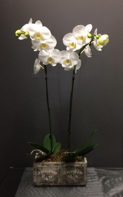 3 - Phalaenopsis Orchids in a box