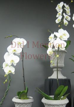 4 - White Phalaenopsis Orchid Plants
