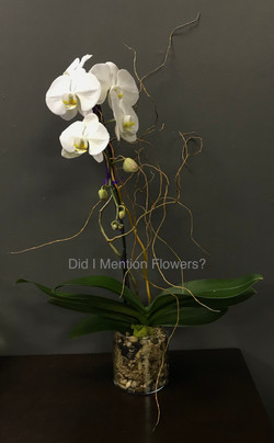 11 - Phalaenopsis Orchid in Glass Vase