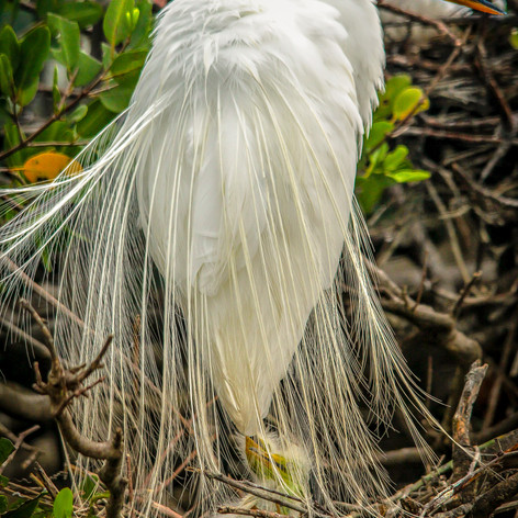 Momma Egret & chick