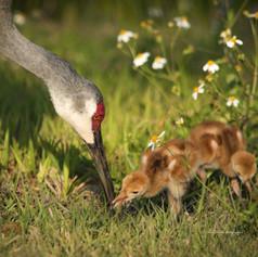 Momma Crane & Chicks-