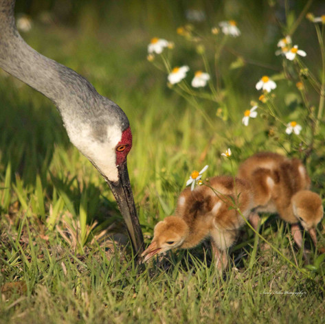 Momma Crane & Chicks-