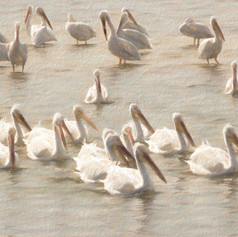 Painterly Pelicans