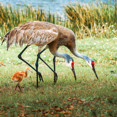 Crane Family