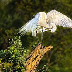 Preening Great Egret