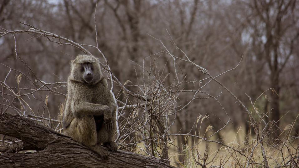 Chillin' Monkey