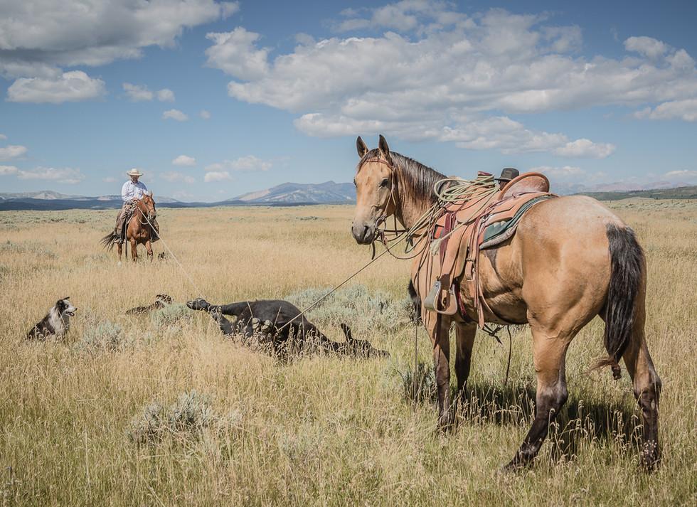 Buckskin colt