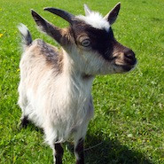 Tips for Being a Happier Law Student (With some useful stuff about life, law school and goats)