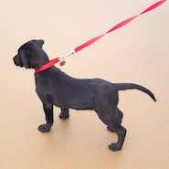 Labrador on a leash
