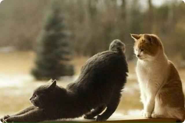 A black cat showing a ginger and white cat it's rear end