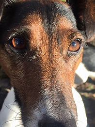 Jack Russell Eyes