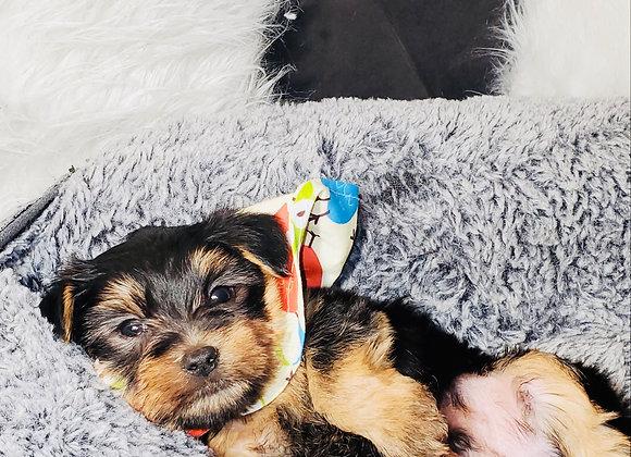 Peyton - Male | 8-Weeks Old | Yorkshire Terrier