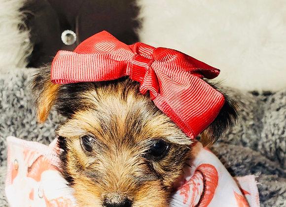 Thea - Female | 8-Weeks Old | Yorkshire Terrier
