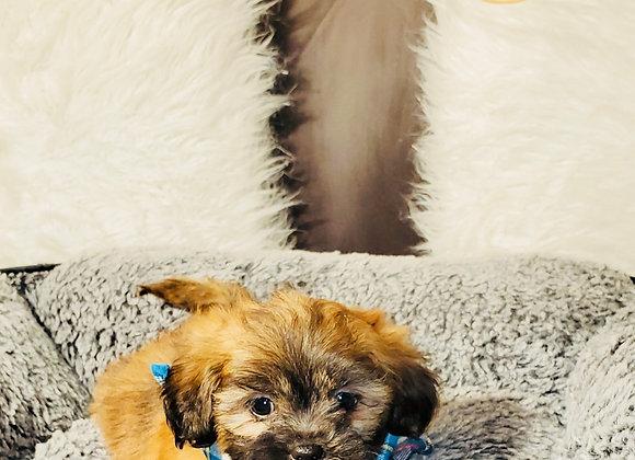 Boomer - Male | 8-Weeks Old | Shichon