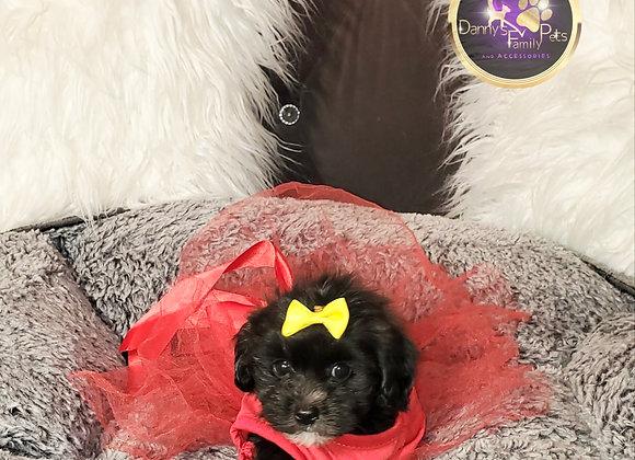 Royce - Female | 8-Weeks Old | Shihpoo