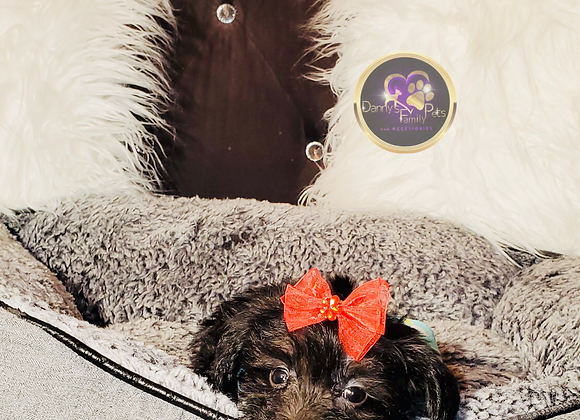Missy - Female | 8-Weeks Old | Yorkipoo
