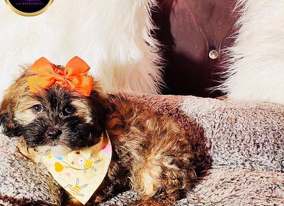 Jeanene - Female | 9-Weeks Old | Shorkie Tzu