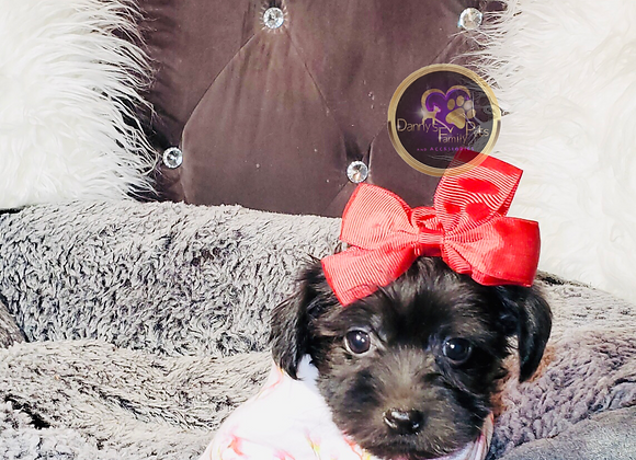 Alexa - Female | 8-Weeks Old | Yorkipoo
