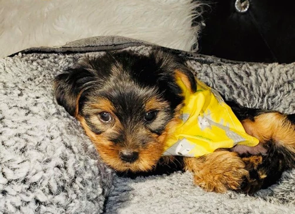 Max - Male | 8-Weeks Old | Yorkshire Terrier