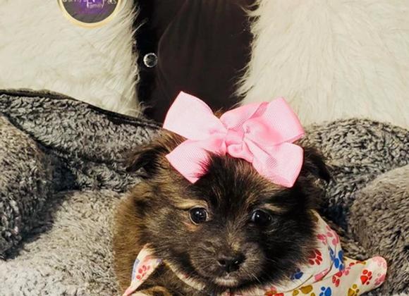Trixie - Female | 8-Weeks Old | Pomeranian
