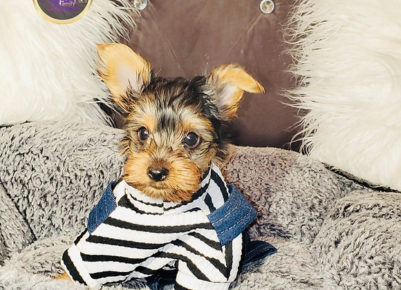 Cooper - Male | 8-Weeks Old | Yorkshire Terrier