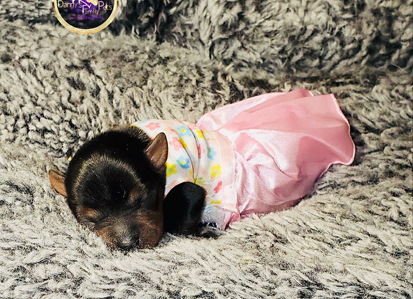Princess - Female | 1-Week Old | Yorkshire Terrier