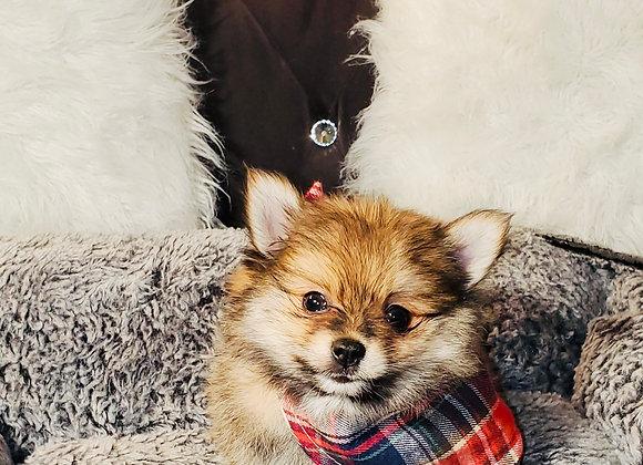 Rambo - Male | 8-Weeks Old | Pomeranian