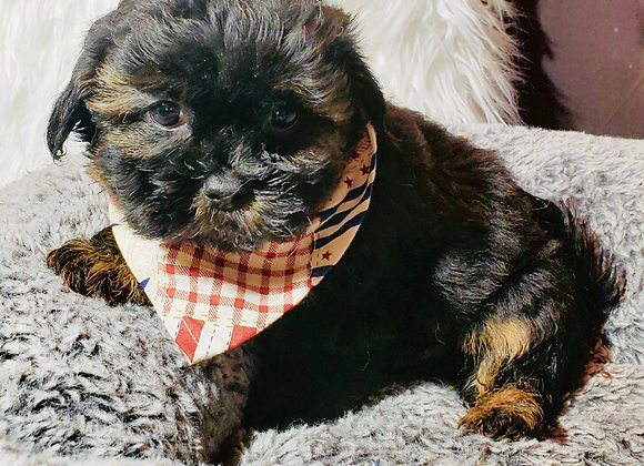 Baxter - Male | 9-Weeks Old | Shichon