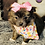 Thumbnail: Trixie - Female | 8-Weeks Old | Pomeranian