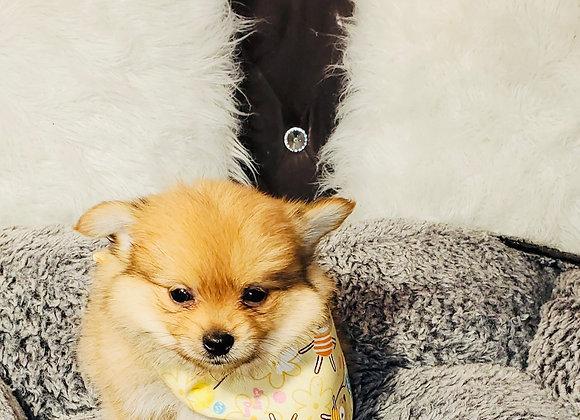 Gilbert - Male | 8-Weeks Old | Pomeranian