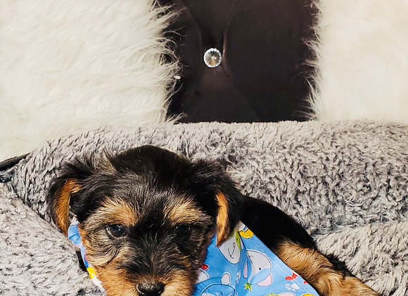 Asher - Male | 8-Weeks Old | Yorkshire Terrier