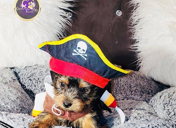 Peanut - Male | 8-Weeks Old | Yorkshire Terrier