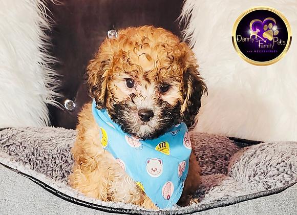 Jaylon - Male | 8-Weeks Old | Toy Poodle