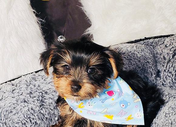 Wyatt - Male | 8-Weeks Old | Yorkshire Terrier