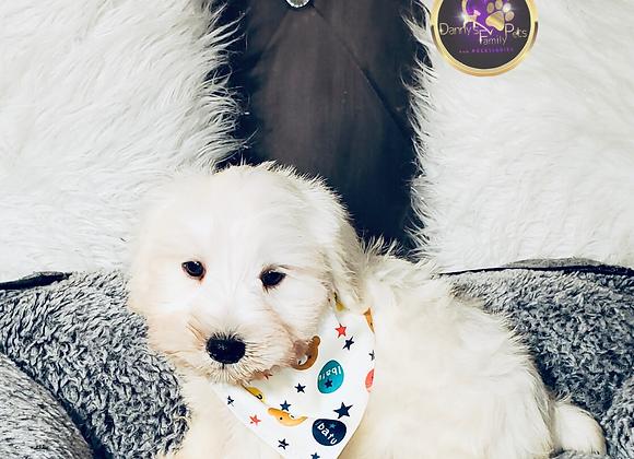 Troy - Male | 8-Weeks Old | Miniature Schnauzer