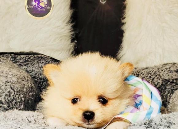 Nugget - Male | 8-Weeks Old | Pomeranian