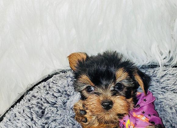 Rex - Male | 8-Weeks Old | Yorkshire Terrier