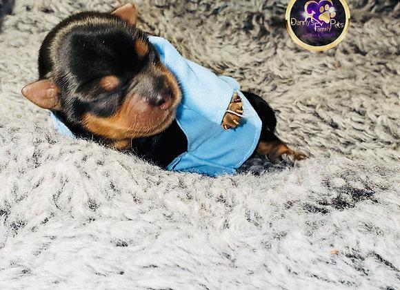 AJ - Male   1-Week Old   Yorkshire Terrier