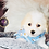 Thumbnail: Bryce - Male   8-Weeks Old   Biton