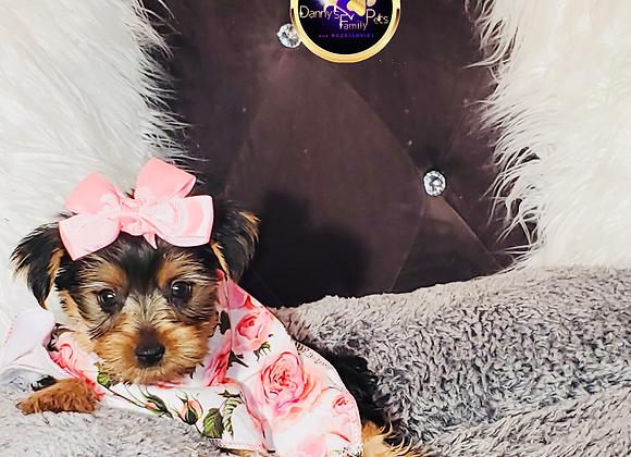 Iris - Female | 8-Weeks Old | Yorkshire Terrier